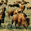 New book about American Bison