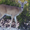 Antlerless deer, gun licenses, available
