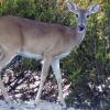 Antlerless deer, gun licenses, available