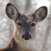 White-tailed Deer, tests positive CWD, near Williston