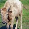 Chahinkapa Zoo acquires a white bison