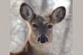 Deer license Refunds, EHD Disease, reported in Jmst area